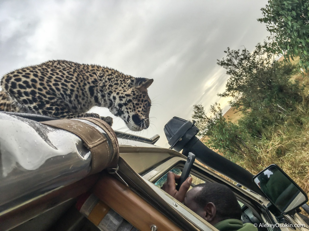 Leopardss_kenya, mar.2016_iphone_ao-4.jpg
