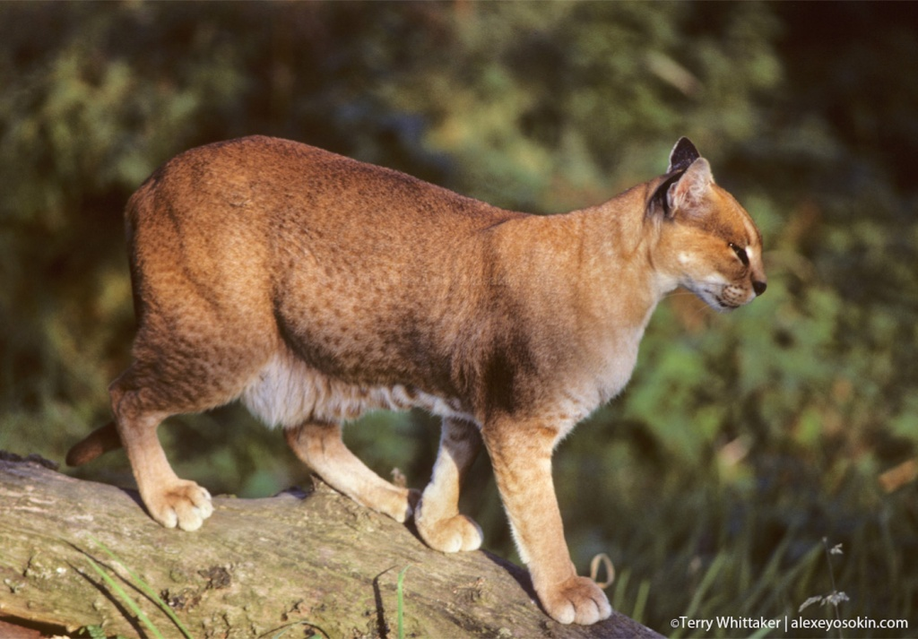 golden_cat_1.jpg
