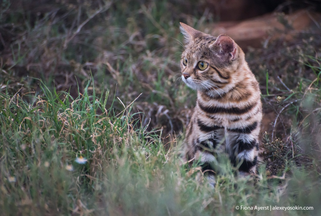 black-footed cat_3.jpg
