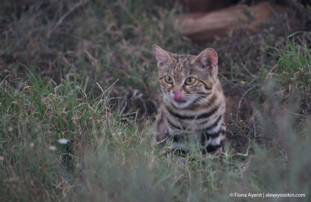 black-footed cat_main.jpg