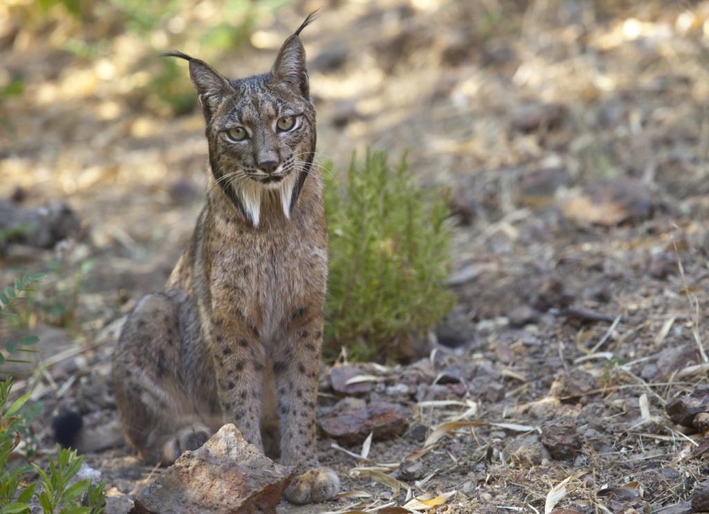 23-Lynx pardinus.JPEG