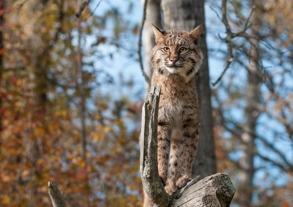 24-Lynx rufus.JPEG