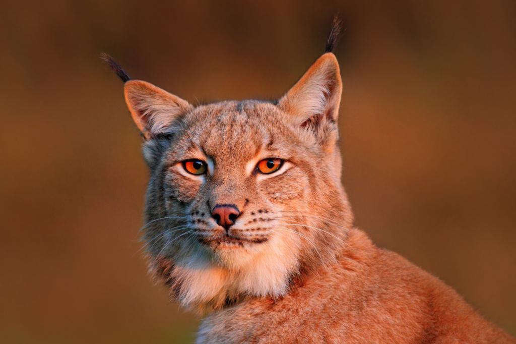 22-lynx lynx.jpg