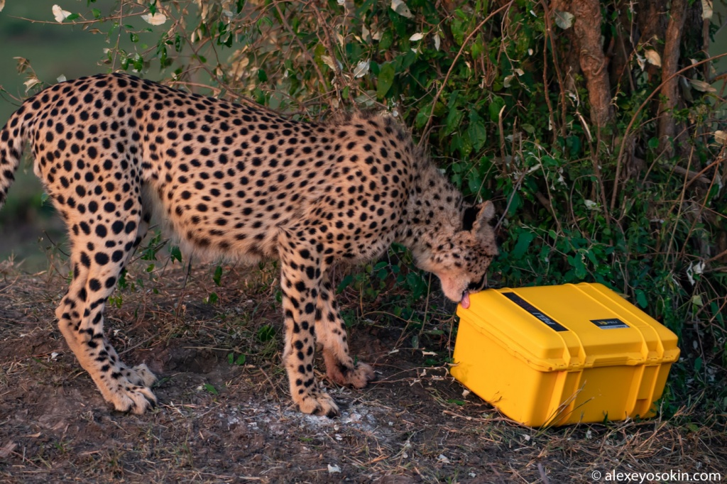 cheetah_peli_case_3.jpg