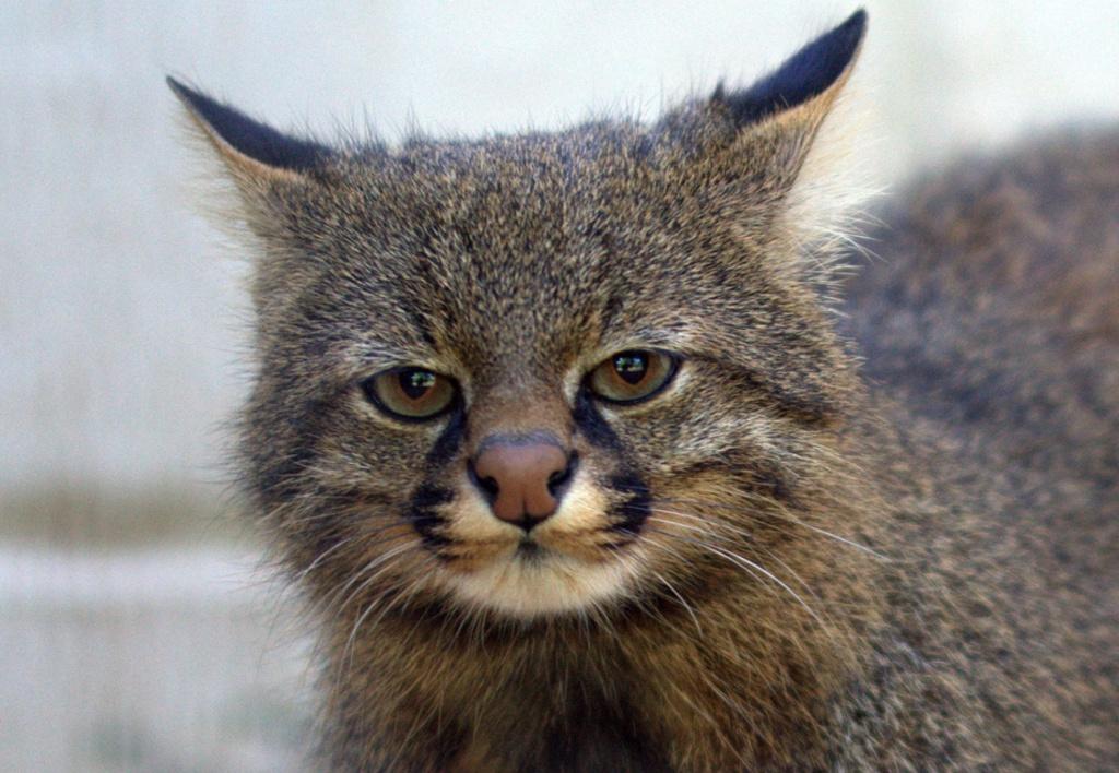 13-Пампасская кошка.JPEG