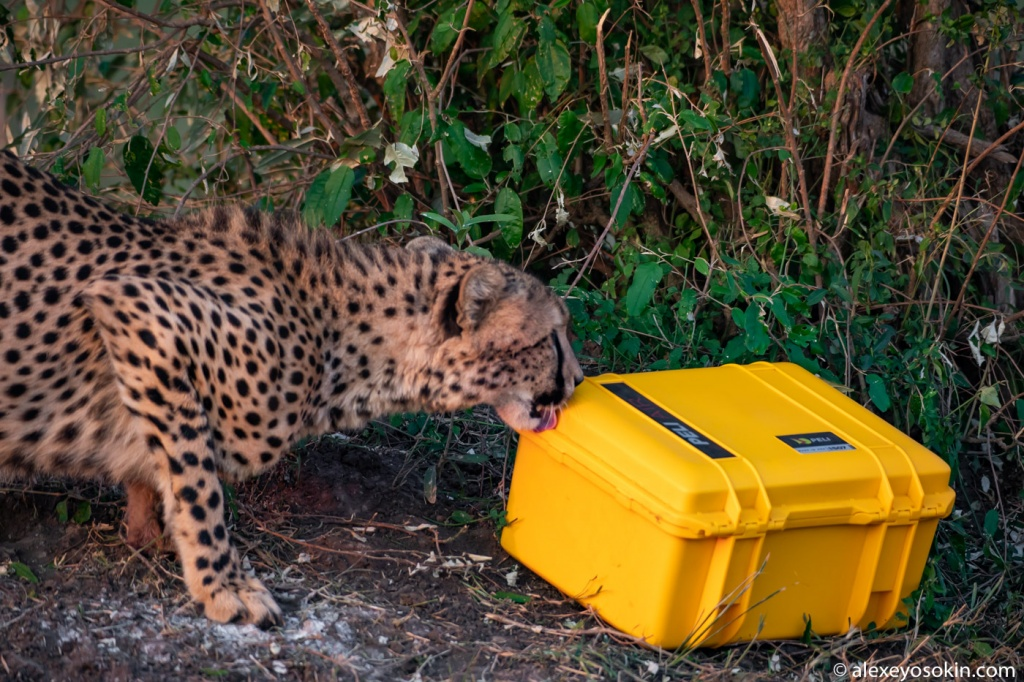 cheetah_peli_case_1.jpg