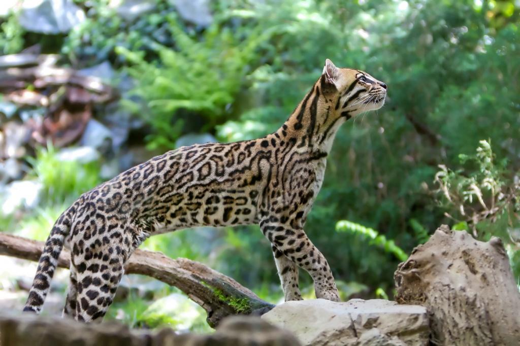 17-Leopardus pardalis.JPEG