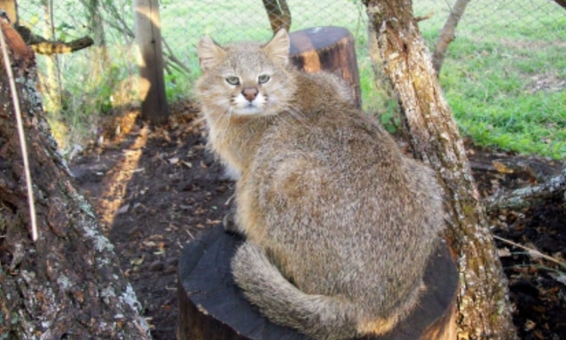 Кошка породы барс домашняя thumbnail