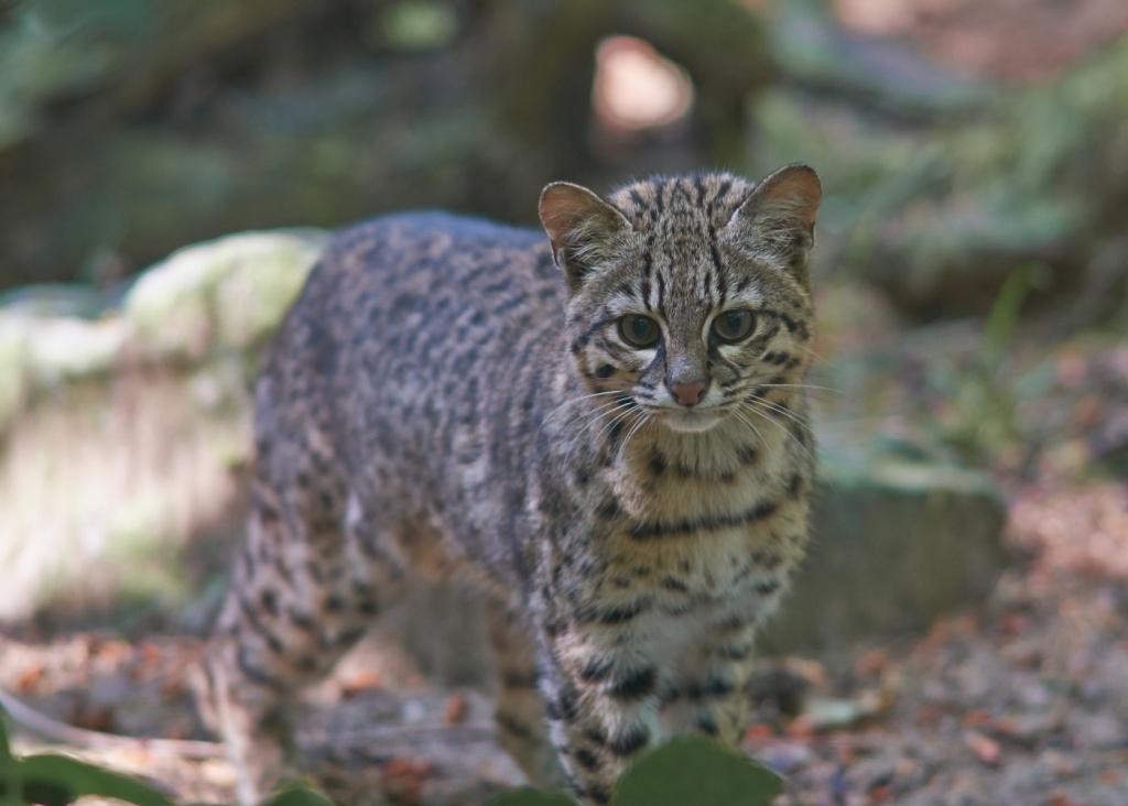 14-Leopardus geoffroyi.JPEG