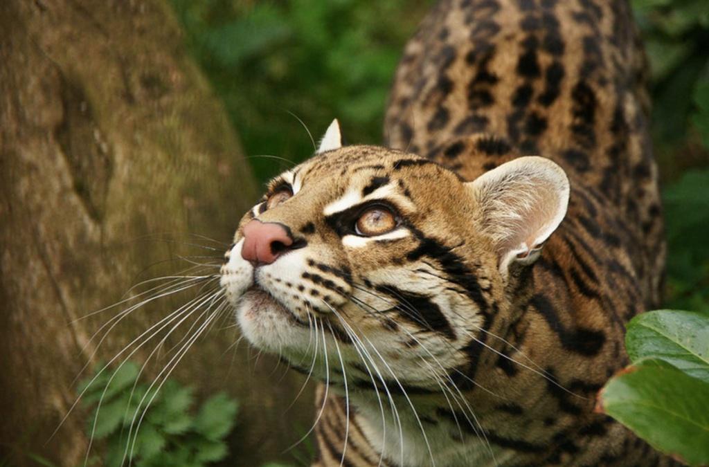15-Leopardus guigna.JPEG