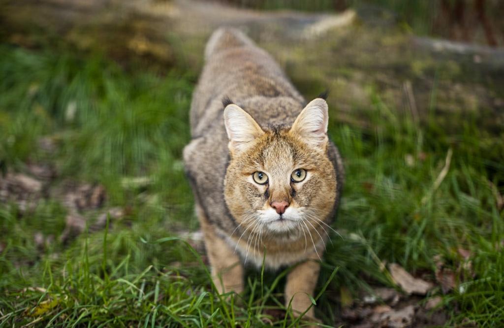 6-Felis chaus.JPEG