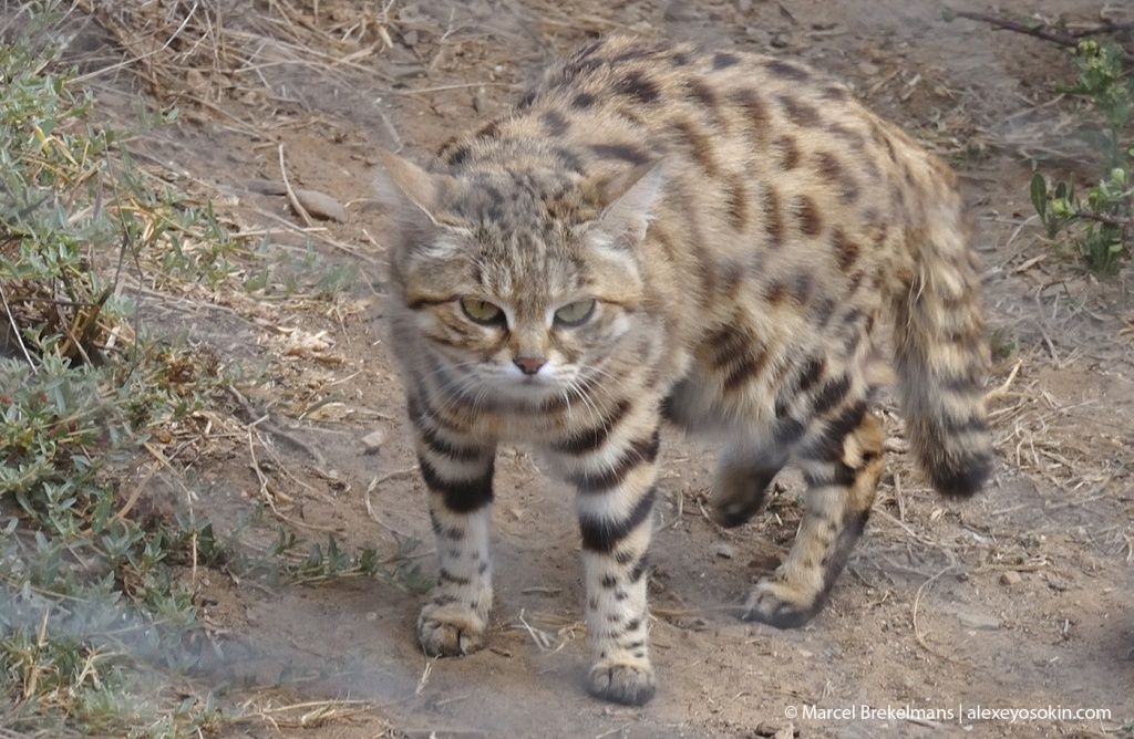 black-footed cat_2.jpg