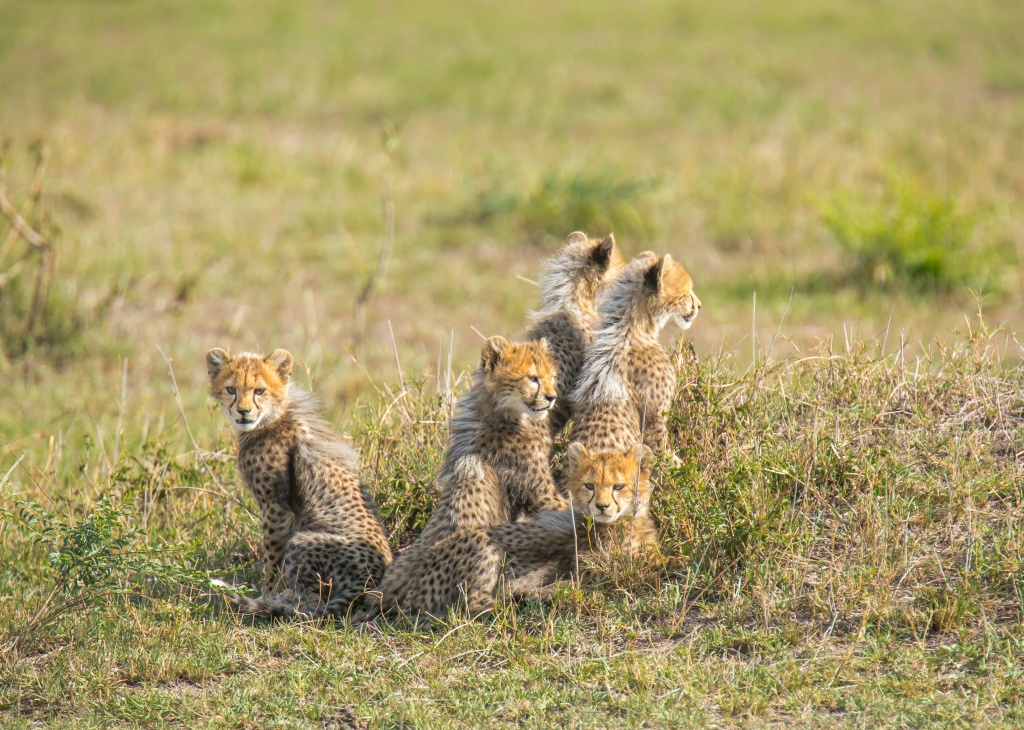 5 cheetah cubs.jpg