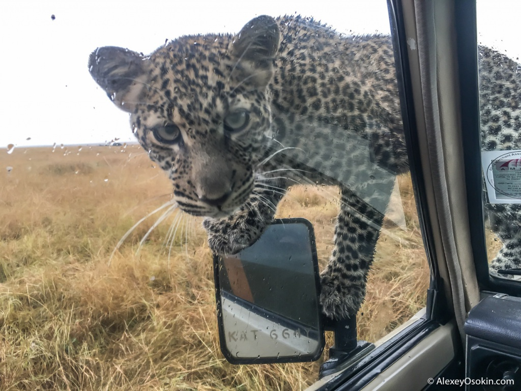 Leopardss_kenya, mar.2016_iphone_ao-3.jpg